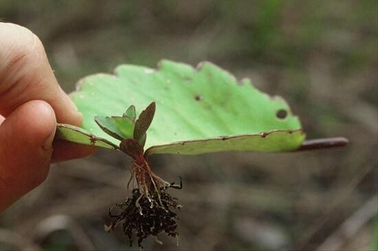 perkembangbiakan vegetatif alami