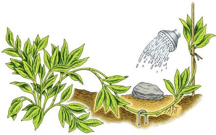 perkembangbiakan vegetatif buatan