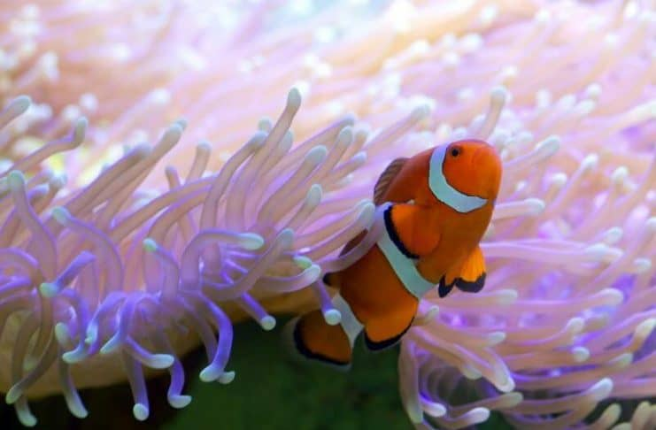 ikan badut dengan anemon laut