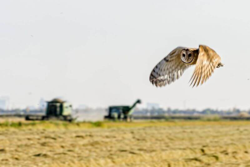 petani dengan burung hantu