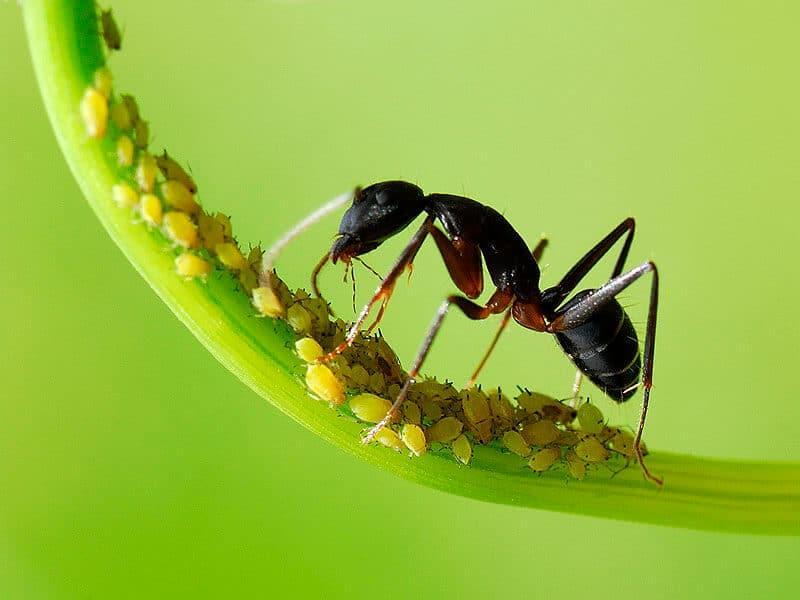 semut dengan kutu daun