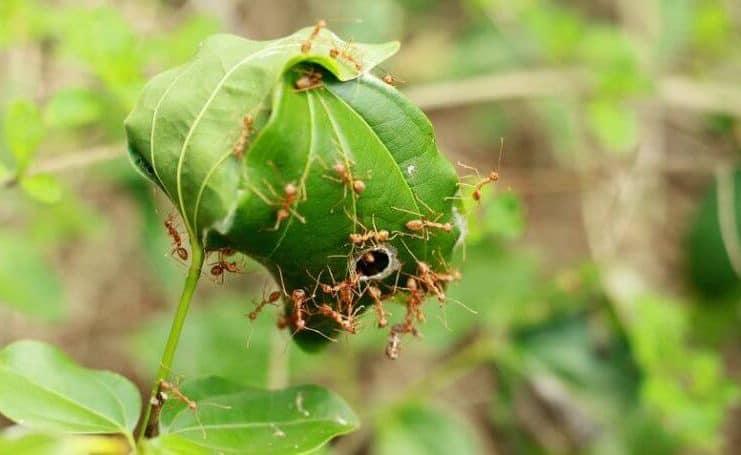 semut rangrang dengan tumbuhan