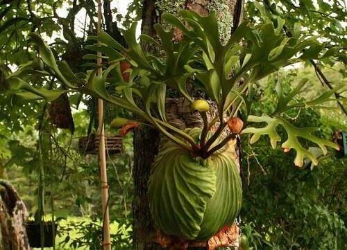 simbiosis komensalisme tumbuhan paku tanduk rusa