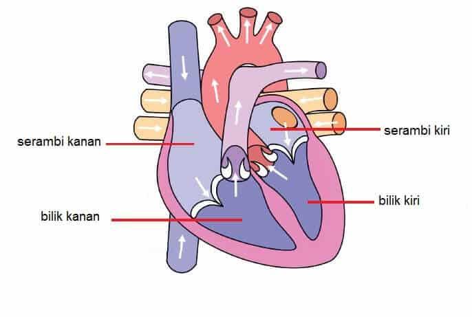 13+ Fungsi serambi dan bilik pada jantung trends