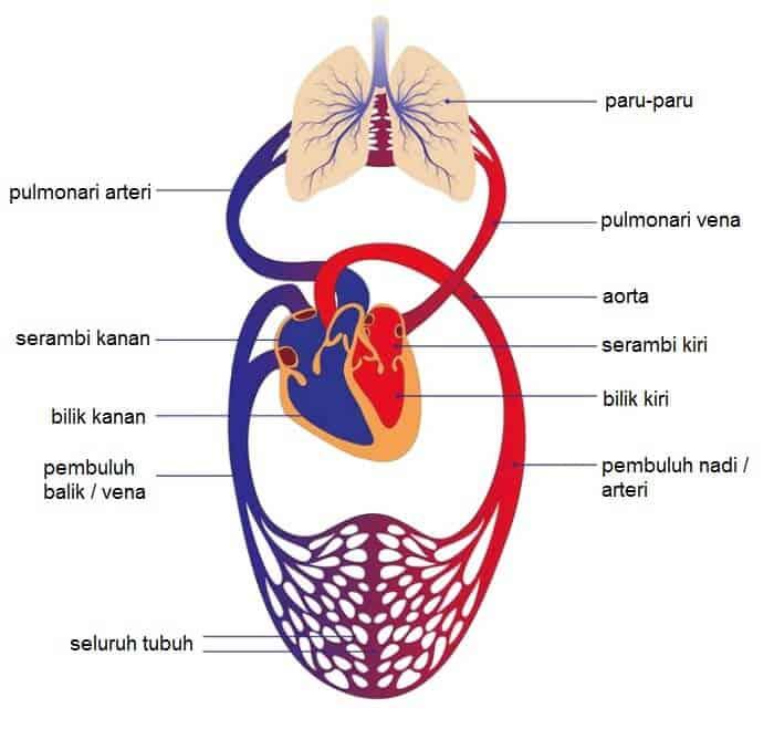 Sistem Peredaran Darah Manusia Disertai Gambar