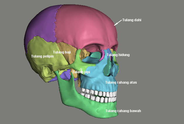 Tulang Rangka Kepala
