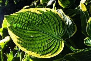 daun melengkung