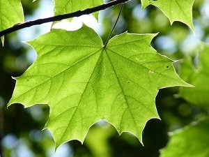 daun menjari
